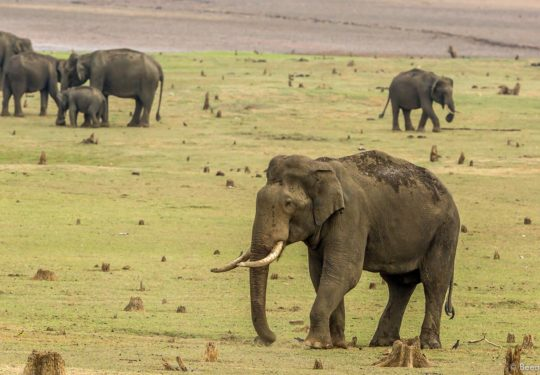 A congregation of Asiatic Elephants(Elephas maximus indicus) on the banks of the lakes in the Nagarhole National Park