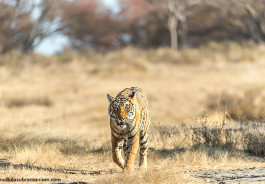 Arrowhead Ranthambore December 2016