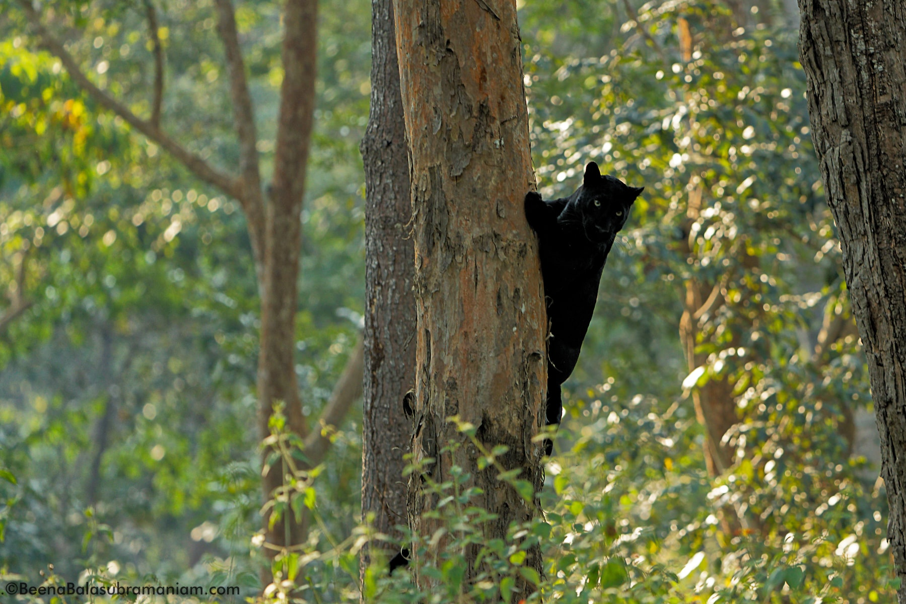 Black Panther or Melanistic Leopard, Kabini, Nagarhole National Park
