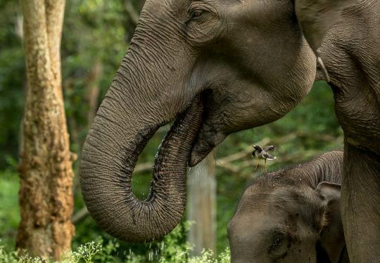 Mum and me -Elephas maximus indicus)