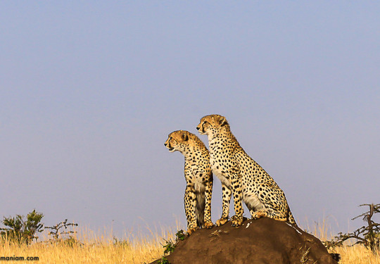 My First Cheetah Picture Masai Mara