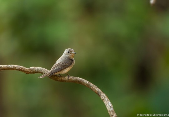 The rusty-tailed flycatcher