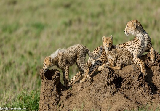 Cheetah family,