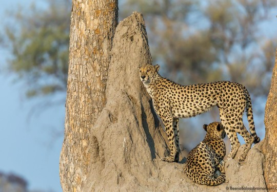The Dominant Cheetah Brothers of the Linyati