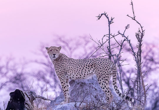 Purple sunsets and the cheetah