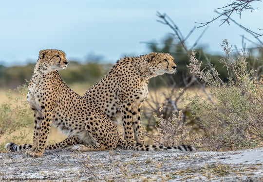 Young Cheetah brothers of the Linyati,