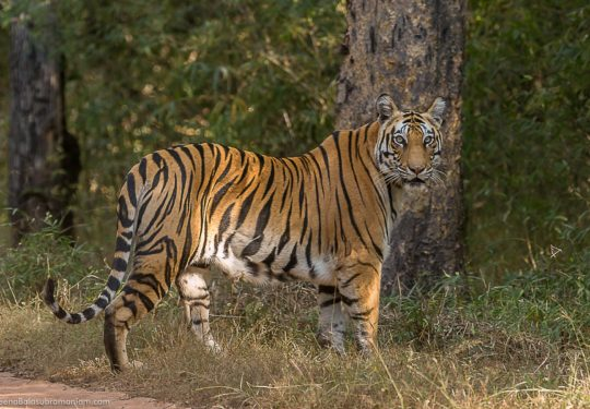 Tigress Sukhi Patiha against the Sal Trees of Bandhavgarh National Park - 2014