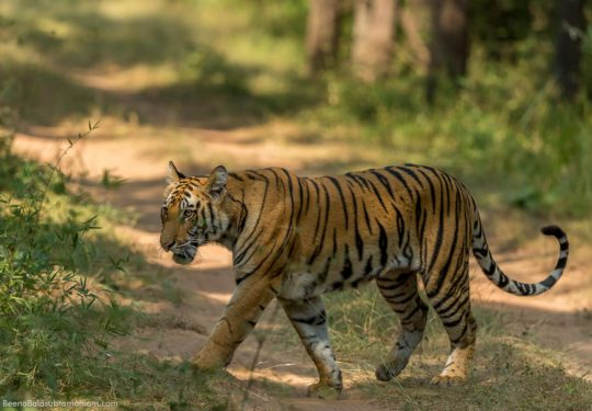 Documenting the growth of Fast track the male cub of Sukhi Patiha Tiger seen at 15 months