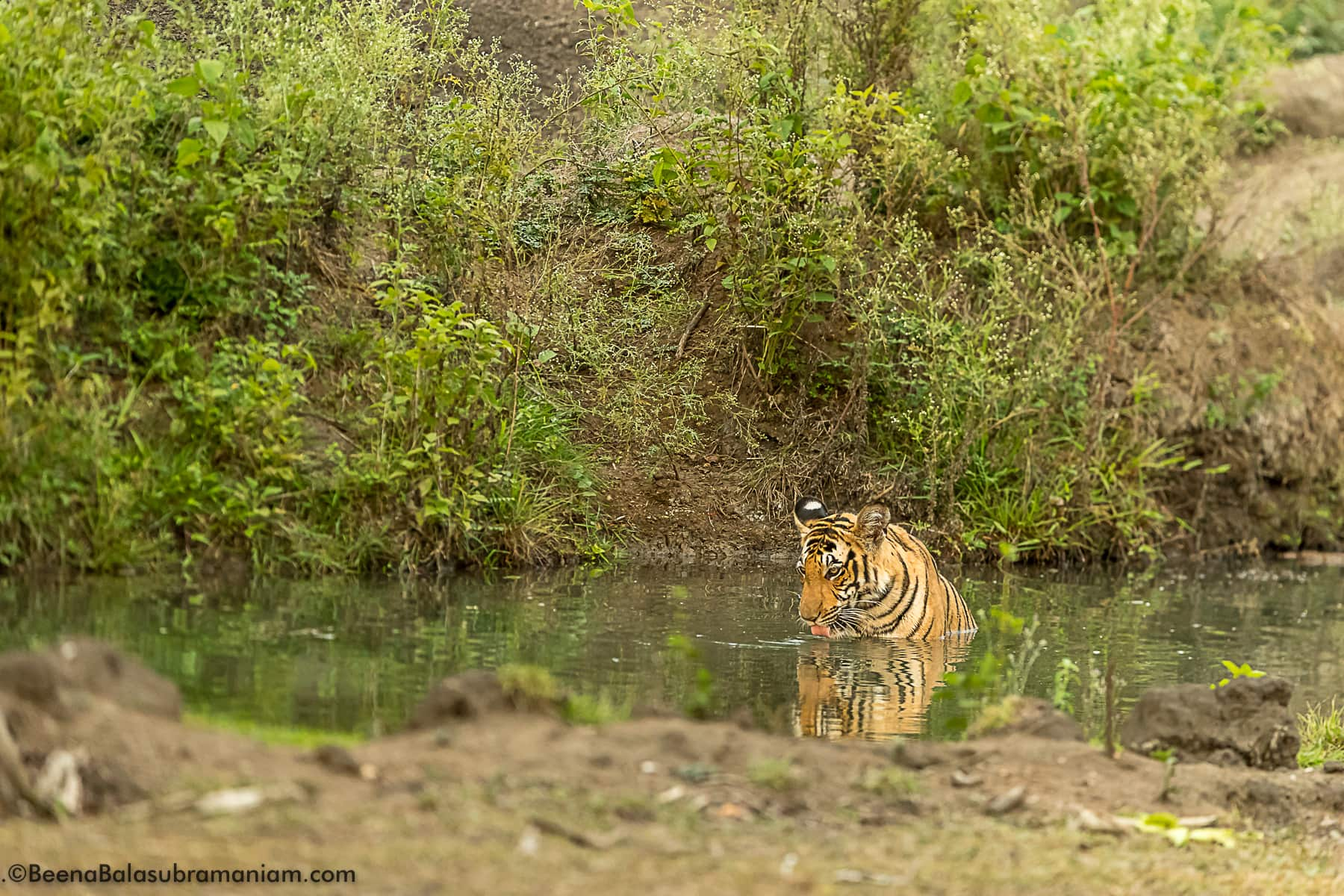 Tigertank cub Kabini April 2017