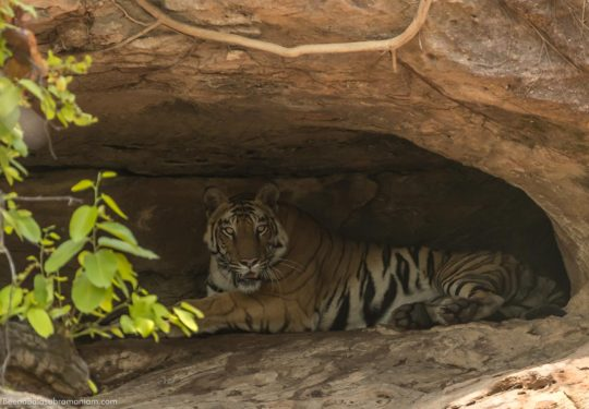 Solo the tigress finds shade in the caves of Bandhavgarh National Park