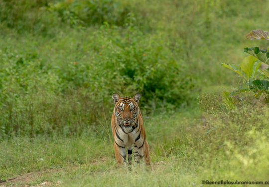 Monsoon 2017,Back water tigress