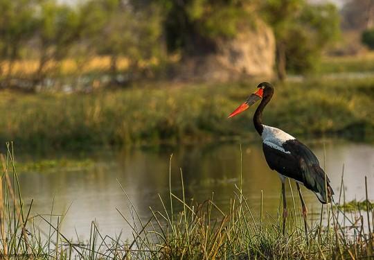 The saddle-billed stork - Female