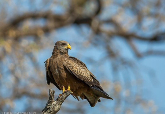 The yellow-billed kite