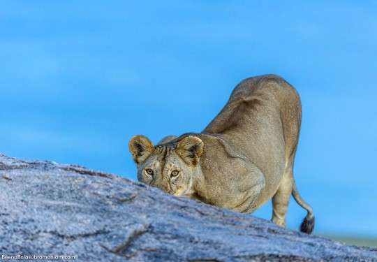 Lioness on a Kopje