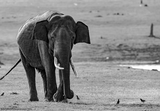 Indian Tusker in B&W