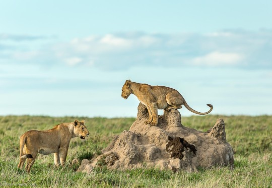 The Lion pride at ease in the Serengeti