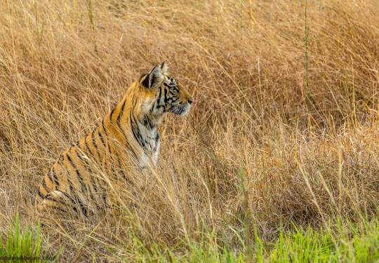 The Tiger Cub waits for her mother to return in the tall grasses of the Bandhavgarh national Park