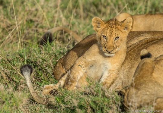 Portrait of a lion cub resting against its mother