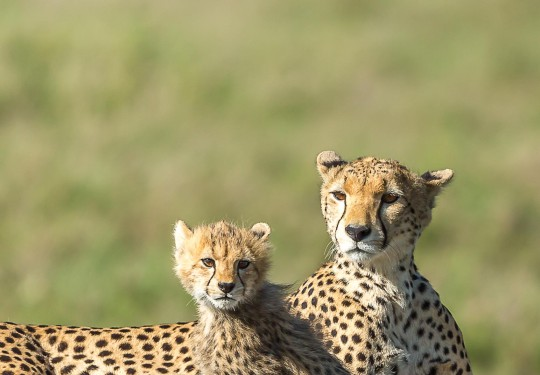 Portrait of a Cheetah and her cub
