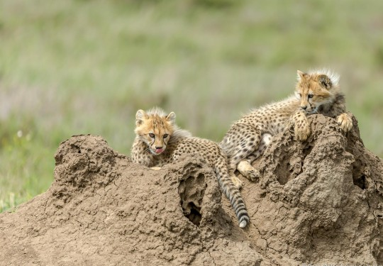 Young Cheetah cubs