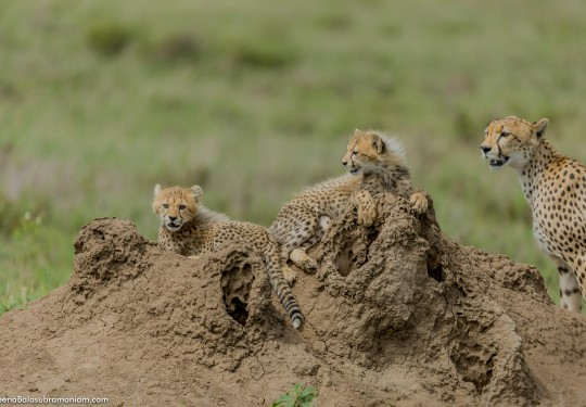 Cheetah family in the Serengeti