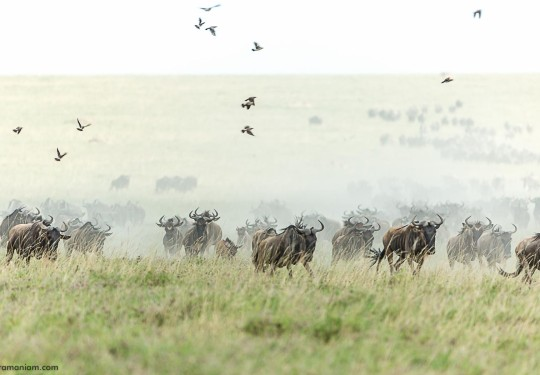 The Great Migration photographed in the central serengeti