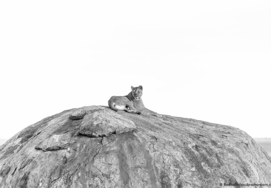 Lioness on the classic Kopje of the serengeti