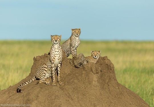 Cheetahs of the Serengeti.