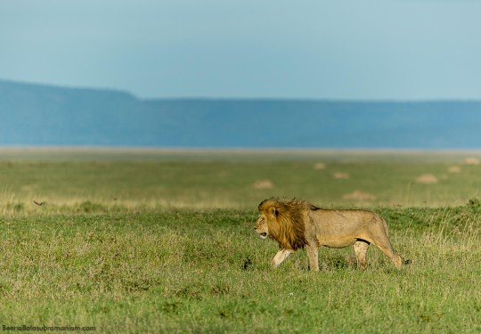Lions of the Serengeti Plains
