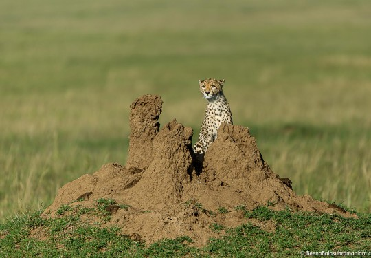Cheetah cub amidst termite mound