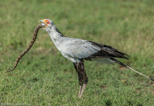 The secretarybird - Sagittarius serpentarius