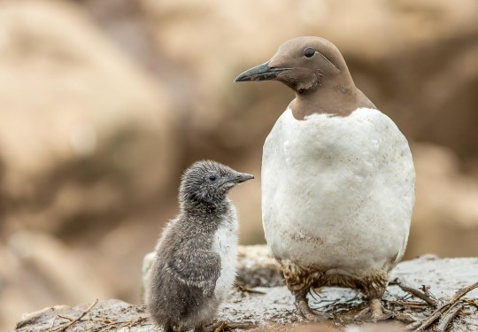Common Guillemot with its chick