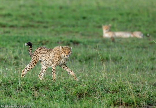 The Young Boisterous cub pranks around under Moms watch