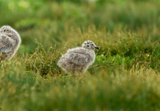 Tiny Sea Gull chicks
