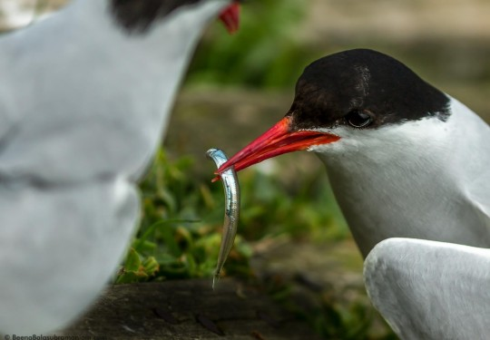 Arctic tern with sand eel