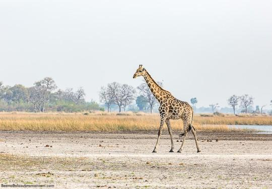 Giraffescape