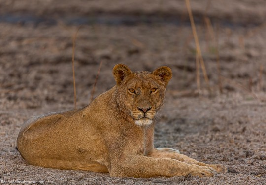 Cautious Lioness