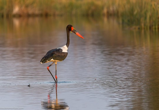 The saddle-billed stork Male