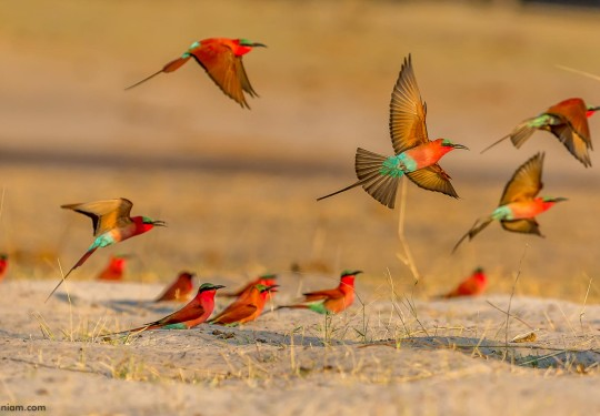 Fly Past - In the Carmine bee-eater colony
