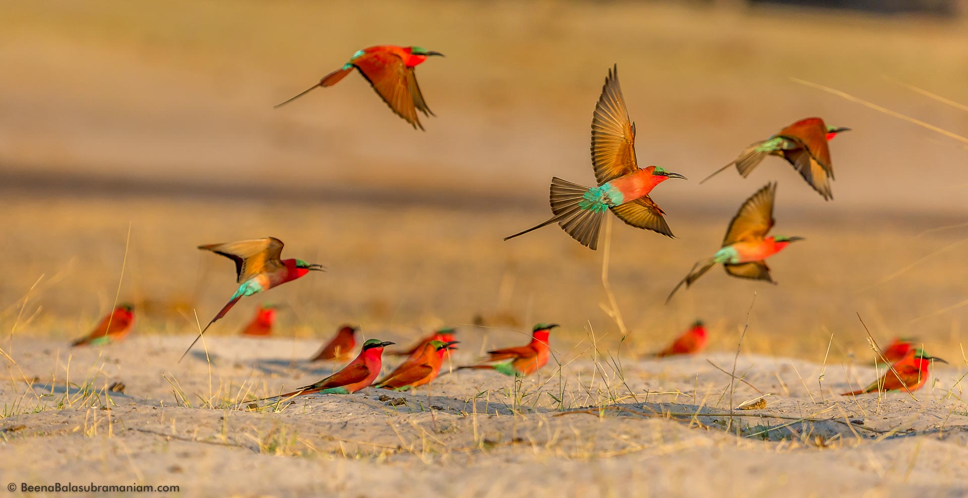 Fly Past - In the Carmine bee-eater colony.