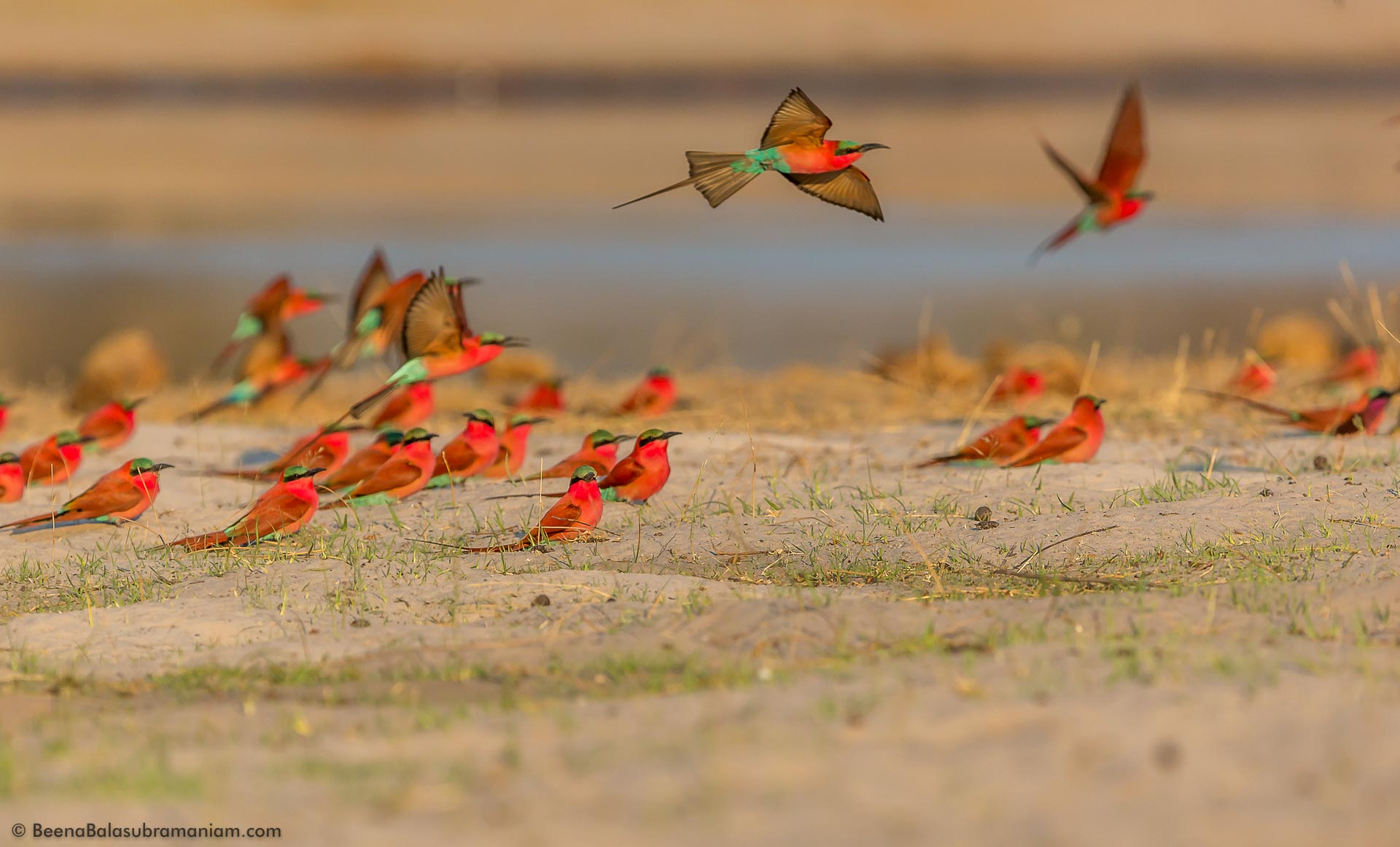 A flock of Southern Carmine Bee Eaters
