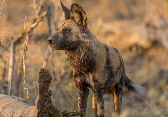 The African Wild Dog Behaviour