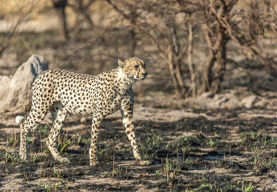 Cheetah set against the burnt embers of the bushveld