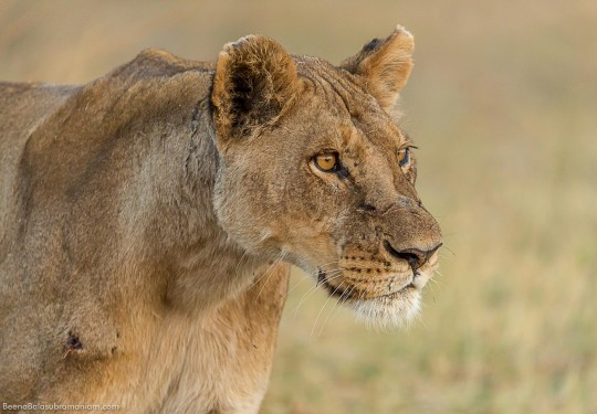 Focussed Lioness