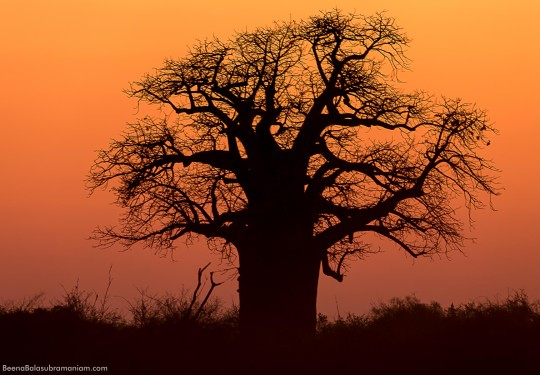 Silhouette of the Baobab tree, Kwando, Botswana, South Africa