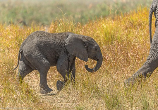 Following Mums foot steps -The  Southern African bush elephant (Loxodonta africana)