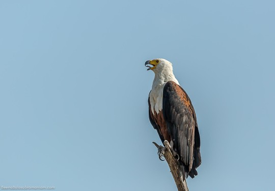 The African fish eagle
