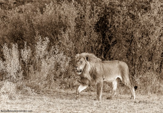 The Male Lion in sepia