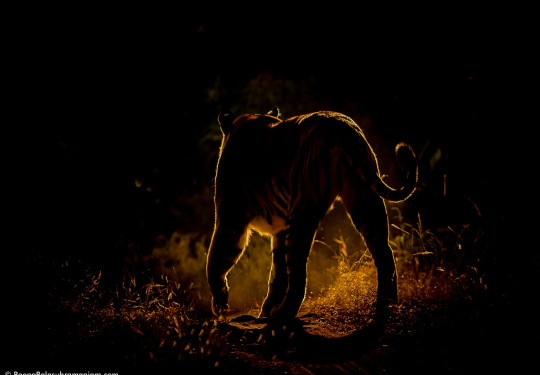 Tiger Back lit