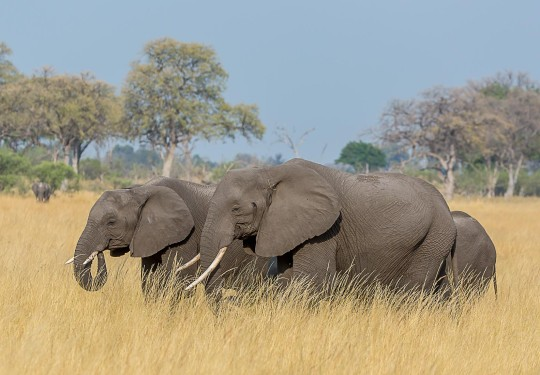 A Family in search of Water in the drying veld of Botswana -The  Southern African bush elephant (Loxodonta africana)